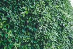 Πράσινο τσάι από τα πράσινα φύλλα τσαγιού της Ταϊλάνδης που καλύπτονται με το ανοικτό πορτοκαλί φως Στοκ φωτογραφία με δικαίωμα ελεύθερης χρήσης