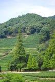 πράσινο τσάι πεδίων της Κίνας Στοκ Εικόνες
