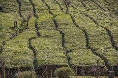 πράσινο τσάι πεδίων Στοκ Φωτογραφία