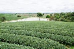 πράσινο τσάι πεδίων Στοκ φωτογραφίες με δικαίωμα ελεύθερης χρήσης