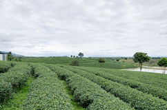 πράσινο τσάι πεδίων Στοκ Εικόνες