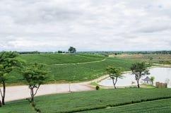πράσινο τσάι πεδίων Στοκ Εικόνα