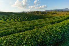 πράσινο τσάι προτύπων Στοκ Φωτογραφίες