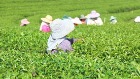 Πράσινο τσάι συγκομιδών φιλμ μικρού μήκους