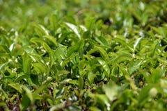 πράσινο τσάι φυτειών στοκ φωτογραφία