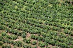 πράσινο τσάι φυτειών Στοκ εικόνες με δικαίωμα ελεύθερης χρήσης