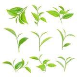 πράσινο τσάι φύλλων Στοκ φωτογραφία με δικαίωμα ελεύθερης χρήσης