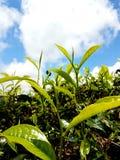 πράσινο τσάι στοκ εικόνες