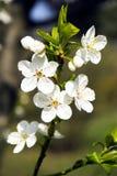 Πράσινο υπόβαθρο ανθών λουλουδιών άνοιξη Στοκ εικόνα με δικαίωμα ελεύθερης χρήσης