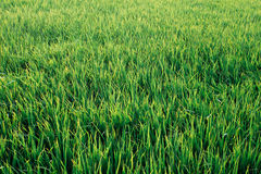 Πράσινο υπόβαθρο λιβαδιών χλόης στοκ εικόνες