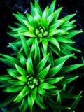 Πράσινο υπόβαθρο κρίνων στοκ εικόνες