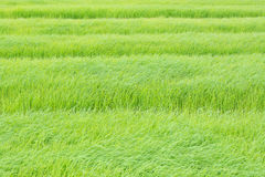 Πράσινο υπόβαθρο ρυζιού στον τομέα Στοκ Εικόνες