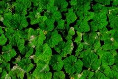 Πράσινο υπόβαθρο σχεδίων φύλλων έννοια ανασκόπησης φυσική Τροπικό υπόβαθρο φύλλων κύκλων πράσινο Στοκ Εικόνες