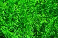 Πράσινο υπόβαθρο της ανάπτυξης των καρότων Στοκ Εικόνες