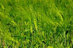 Πράσινο υπόβαθρο τομέων σιταριού Στοκ εικόνα με δικαίωμα ελεύθερης χρήσης