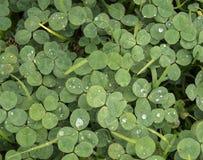 Πράσινο υπόβαθρο τριφυλλιού ή τριφυλλιών με τις πτώσεις βροχής Στοκ φωτογραφίες με δικαίωμα ελεύθερης χρήσης