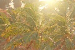 Πράσινο υπόβαθρο των φοινίκων εξωτικός τροπικός ανασκόπ φοίνικας στοκ φωτογραφία