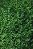 Πράσινο υπόβαθρο των φύλλων πυξαριού Στοκ Εικόνες