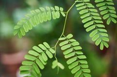 Πράσινο υπόβαθρο φυλλώματος ακακιών, τροπικά φύλλα ζουγκλών Στοκ εικόνες με δικαίωμα ελεύθερης χρήσης