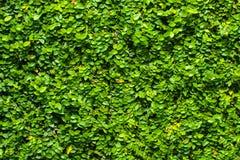 Πράσινο υπόβαθρο φύλλων ή το φυσικά ιδανικό σύστασης τοίχων για τη χρήση στο σχέδιο αρκετά στοκ εικόνες με δικαίωμα ελεύθερης χρήσης