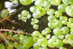 Πράσινο υπόβαθρο φύλλων εργοστασίων νερού στο νερό στοκ φωτογραφία με δικαίωμα ελεύθερης χρήσης