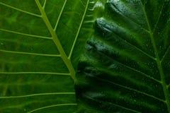Πράσινο υπόβαθρο φύλλων και στάλαγμα στο σκοτεινό τόνο στοκ φωτογραφία με δικαίωμα ελεύθερης χρήσης