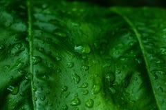 Πράσινο υπόβαθρο φύλλων και στάλαγμα στο σκοτεινό τόνο στοκ εικόνες