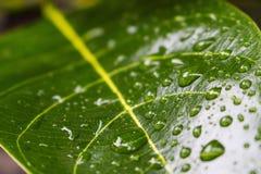 Πράσινο υπόβαθρο φύσης φυτών κινηματογραφήσεων σε πρώτο πλάνο πτώσης νερού φύλλων Στοκ Εικόνα