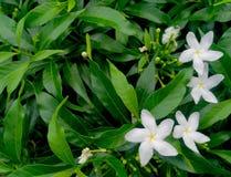 Πράσινο υπόβαθρο φύλλων και άσπρα λουλούδια Στοκ φωτογραφίες με δικαίωμα ελεύθερης χρήσης