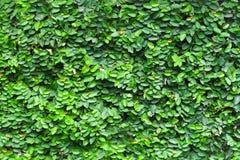 Πράσινο υπόβαθρο φύλλων τοίχων Στοκ Φωτογραφία