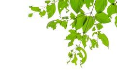 Πράσινο υπόβαθρο φύλλων Στοκ εικόνες με δικαίωμα ελεύθερης χρήσης