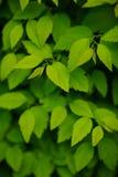 Πράσινο υπόβαθρο φύλλων στοκ φωτογραφίες