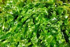 Πράσινο υπόβαθρο, kelp Στοκ εικόνες με δικαίωμα ελεύθερης χρήσης
