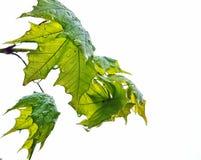 πράσινο υψηλό απομονωμένο λευκό διάλυσης φύλλων Στοκ εικόνες με δικαίωμα ελεύθερης χρήσης