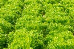 Πράσινο υδροπονικό οργανικό λαχανικό σαλάτας μαρουλιού στοκ εικόνα με δικαίωμα ελεύθερης χρήσης
