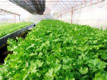 Πράσινο υδροπονικό φυτικό αγρόκτημα κορίανδρου στοκ φωτογραφία με δικαίωμα ελεύθερης χρήσης