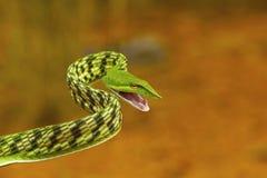 Πράσινο φίδι αμπέλων, nasuta Ahaetulla, ήπιος δηλητηριώδης στοκ εικόνα με δικαίωμα ελεύθερης χρήσης