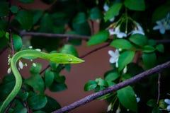 Πράσινο φίδι στο δέντρο στοκ φωτογραφίες