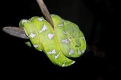 πράσινο φίδι Στοκ φωτογραφία με δικαίωμα ελεύθερης χρήσης