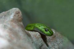 Πράσινο φίδι γατών Στοκ φωτογραφία με δικαίωμα ελεύθερης χρήσης