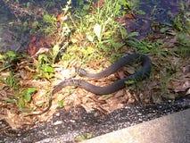 Πράσινο φίδι νερού Στοκ φωτογραφία με δικαίωμα ελεύθερης χρήσης