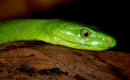 πράσινο φίδι mamba Στοκ Φωτογραφίες
