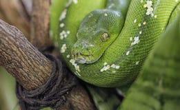 Πράσινο φίδι Python Στοκ φωτογραφία με δικαίωμα ελεύθερης χρήσης