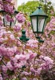 Πράσινο φανάρι μεταξύ του άνθους κερασιών Στοκ εικόνες με δικαίωμα ελεύθερης χρήσης