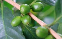 Πράσινο φασόλι καφέ στοκ εικόνα με δικαίωμα ελεύθερης χρήσης