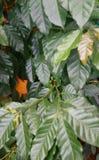 Πράσινο φασόλι καφέ στοκ εικόνες με δικαίωμα ελεύθερης χρήσης