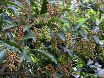 Πράσινο φασόλι Antidesma, δέντρο Antidesma με τα φασόλια Στοκ Φωτογραφία