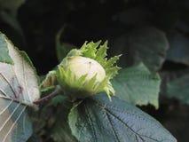 Πράσινο φουντούκι στο δέντρο σε έναν κήπο στην Τοσκάνη, Ιταλία στοκ εικόνες με δικαίωμα ελεύθερης χρήσης