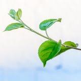 Πράσινο φρέσκο φύλλο από τον κλάδο ενός δέντρου Κλείστε επάνω τη λεπτομέρεια ενός φύλλου Στοκ Εικόνες