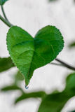 Πράσινο φρέσκο φύλλο από τον κλάδο ενός δέντρου Κλείστε επάνω τη λεπτομέρεια ενός φύλλου Στοκ εικόνες με δικαίωμα ελεύθερης χρήσης